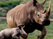 Technology to spike rhino poaching in South Africa