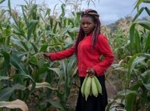 A young lady shows a bumper harvest of a traditional farmer who planted drought resistant maize seed in the 2018/19 cropping season. Photo by Khumbulani Taruvanda, CAJ News Africa.